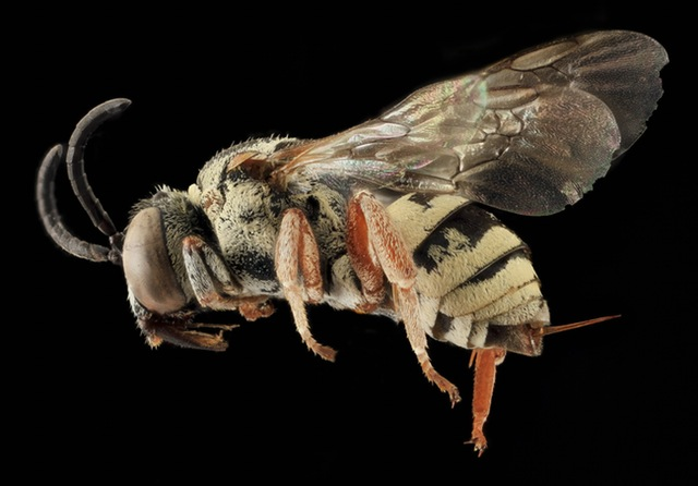 bee-insect-macro-profile