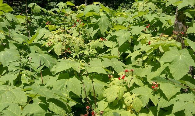 raspberry-397940_640