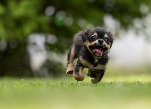 dog running toward camera, with open mouth, all four paws in air above ground